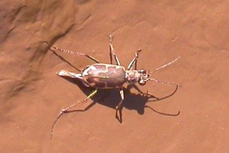 A Salt Creek Tiger Beetle