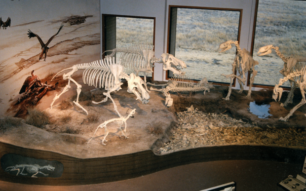 An exhibit at Agate Fossil Beds National Monument features two Dinohyus (left) facing off with a group of Moropus (right). The exhibit includes an interactive task that allows visitors to match molded teeth against bite marks in a copy of the humerus fossil found by Rob Skolnick.
