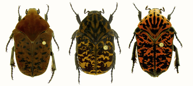 "Three new species of Scarab beetles named by Brett Ratcliffe in honor of the dragons in the ""Game of Thrones"" series are (from left) Gymnetis drogoni, Gymnetis rhaegali and Gymnetis viserioni. Images are not to scale."