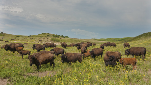 Four years later, bison graze in Sandhills grasslands that quickly recovered after a 2012 wildfire. In the distance, fire damage lingers in a wooded area of the Niobrara Valley Preserve.