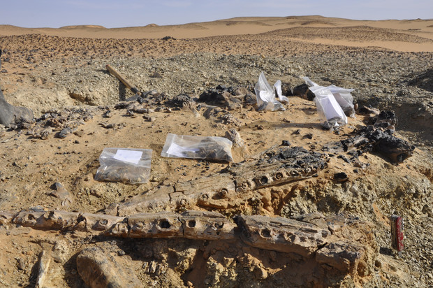 Fossils uncovered by Johannes Müller in Sudan. Müller will discuss the discoveries in a 5 p.m. March 28 lecture in Morrill Hall.