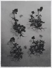 """Herbarium XX: Lupinus texensis"" by Lari Radabaugh Gibbons."