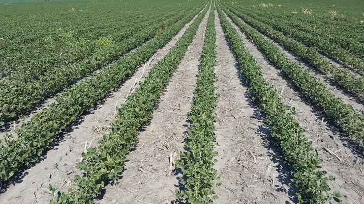 Dicamba injury symptoms can be seen in a Roundup Ready soybean field near Geneva.