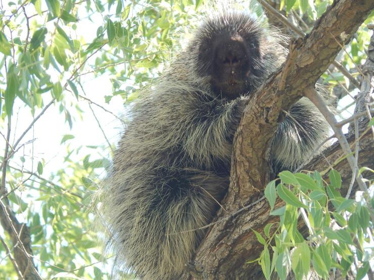 The University of Nebraska State Museum's October Sunday with a Scientist program will explore Nebraska's unique animal inhabitants, such as the porcupine.