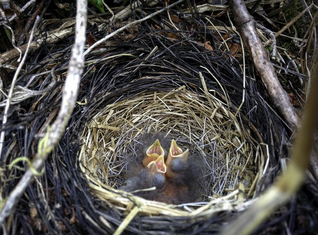 Golden-crowned sparrow chicks chirp for food in southern Alaska. University of Nebraska-Lincoln biologists have published a new study showing that week-old sparrow chicks, despite not yet learning their mating song,can distinguish that song from another sparrow species' based on its first note alone.