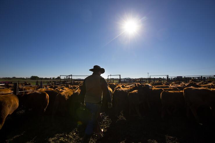 Calves are weaned from the herd on Oct. 14, 2014, near Mead, Nebraska.