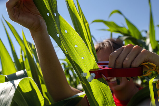 Sierra Conway, an undergraduate student at the University of Nebraska–Lincoln, collects RNA from a set of diverse corn varieties that her research team is growing and studying at the Department of Agronomy and Horticulture research fields in Lincoln. Conway is part of James Schnable's research group at Nebraska, which is partnering with Iowa State University and six other institutions to launch the AI Institute for Resilient Agriculture.