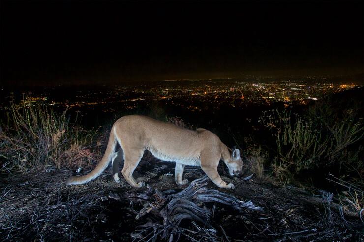 Mountain lion overlooking LA