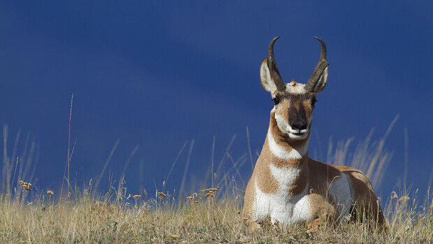 A pronghorn rests on the prairie. Antilocapra americana, which are being studied in the Nebraska panhandle, are the fastest mammal in North America.